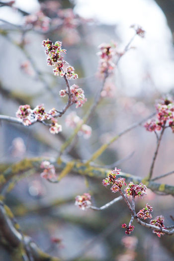 Plant Flower Flowering Plant Tree Growth Beauty In Nature Branch Blossom Springtime Nature Pink Color Selective Focus No People Flower Head Spring Freshness