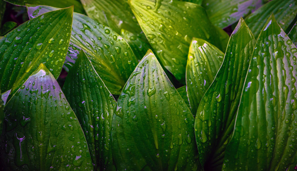 Simplicity of Nature Green Color Drop Leaf Wet Plant Part Plant Growth Beauty In Nature Water Close-up Backgrounds Freshness No People Full Frame Nature Rain Day Outdoors Dew RainDrop Rainy Season Leaves Purity Simplicity Nature
