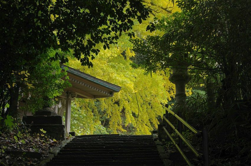 Fall Beauty Ginkgo Ginkgo Leaf Ginkgo Tree Maidenhair Tree Japan Shrine Shinto Shrine Japanese Shrine Yellow Leaves