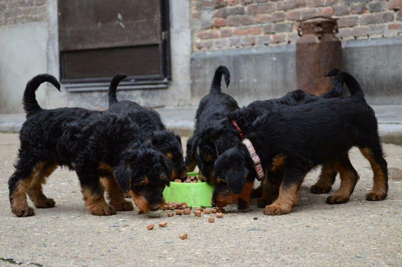 Airedale Terrier Puppies Eating From Bowl In Back Yard