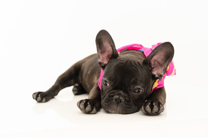 She knows what she did... Pet Pets White Background Dog Puppy Studio Shot Portrait Bulldog Lying Down French Bulldog Cute Purebred Dog Pet Clothing Pampered Pets Canine Animal Face