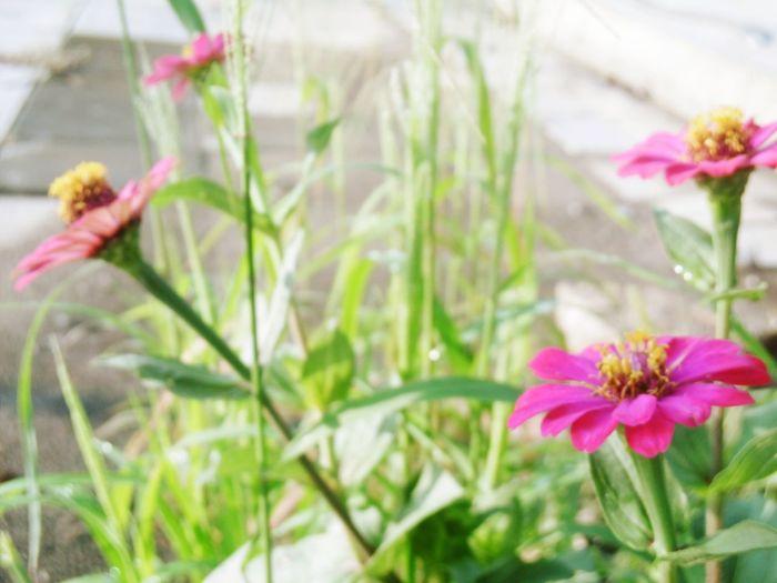 ดอกบานชื่น Banana Flower Thailand🇹🇭 ดอกหญ้า Flower Pink Color Fragility Plant Growth Nature Petal Freshness Day Outdoors Flower Head No People Beauty In Nature Blooming Close-up Greenhouse