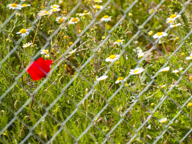 Beauty In Nature Close-up Contrast Contrasts Daisy Daisy Flower Day Fence Flower Flowers Fragility Freshness Grass Green Color Growth Metallic Fence Nature Plant Poppy Poppy Flowers Red Selective Focus Spring Springtime