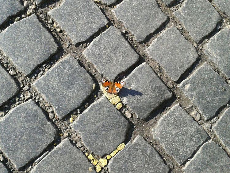 Peacockbutterfly Peacock Butterfly Solo Solitude Basking In The Sun Cobblestone Cobbl
