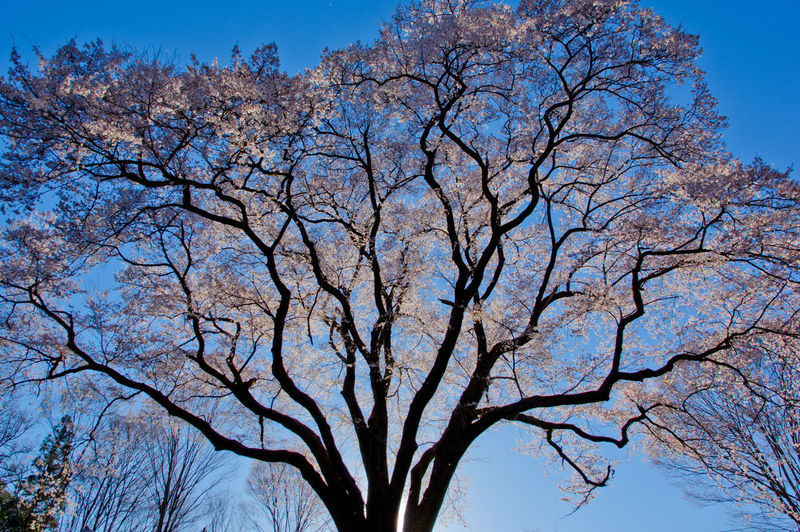 Tree Sky Branch Plant Blue Low Angle View Nature No People Bare Tree Beauty In Nature Day Clear Sky Outdoors Tranquility Scenics - Nature Growth Springtime Tree Trunk Backgrounds Trunk Tree Canopy  Directly Below Cherry Blossom Cherry Blossom Cherry Tree Japan Japan Photography Spring Flowers Spring Flower Cherry Flower Pentax