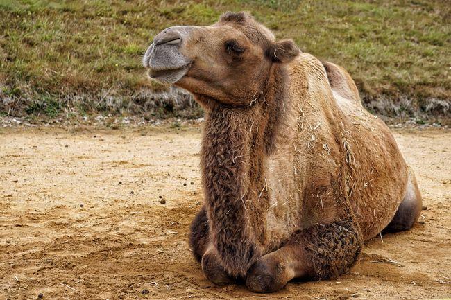 Rural Landscape Camel
