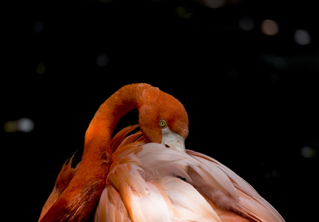 american flamingo American Flamingo Birds Of EyeEm  Birdwatching Phoenicopterus Ruber Animal Themes Animal Wildlife Animals In The Wild Beauty In Nature Bird Birds Close-up Day Fenicottero Flamingo Focus On Foreground Nature No People One Animal Outdoors