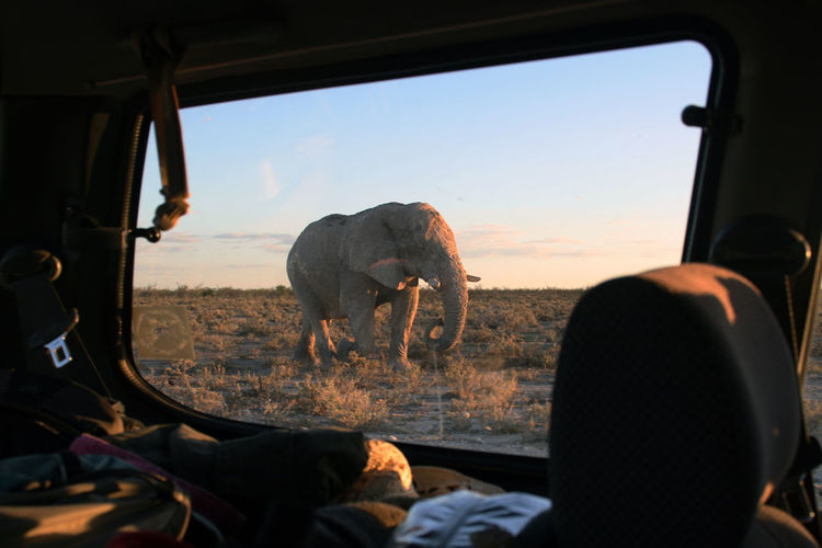Elephant walking on land seen through car window