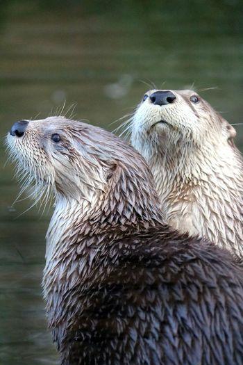 Animal Themes Animal Animal Wildlife Otter Nature Animal Head  Slimbridge Otters