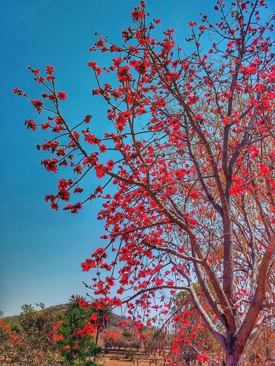 Butea monosperma, flame-of-the-forestandbastard teak Flame-of-the-forest Bastard Teak Bastard Teak Flower Butea Monosperma Flame-of-the-forestandbastard Teak Tree In Evening Ourdoors Naturelovers Outside Road Trip Nature_collection Tree Flower Clear Sky Branch Red Blue Sky Botany The Photojournalist - 2018 EyeEm Awards The Portraitist - 2018 EyeEm Awards The Great Outdoors - 2018 EyeEm Awards