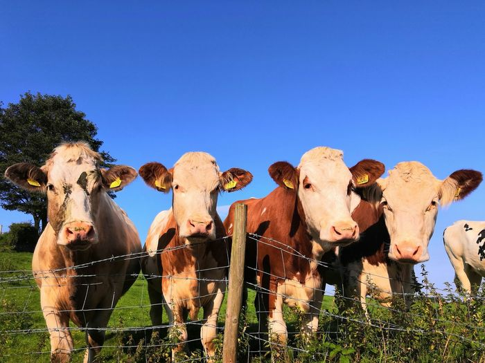 High angle view of cows on field against clear sky