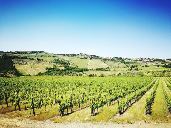 Wine fields in Tuscany Betterlandscapes Tuscany Tuscany Countryside Sunny Sunny Day 🌞 Rural Scene Agriculture Field Sky Green Color Vineyard Vine - Plant Vine