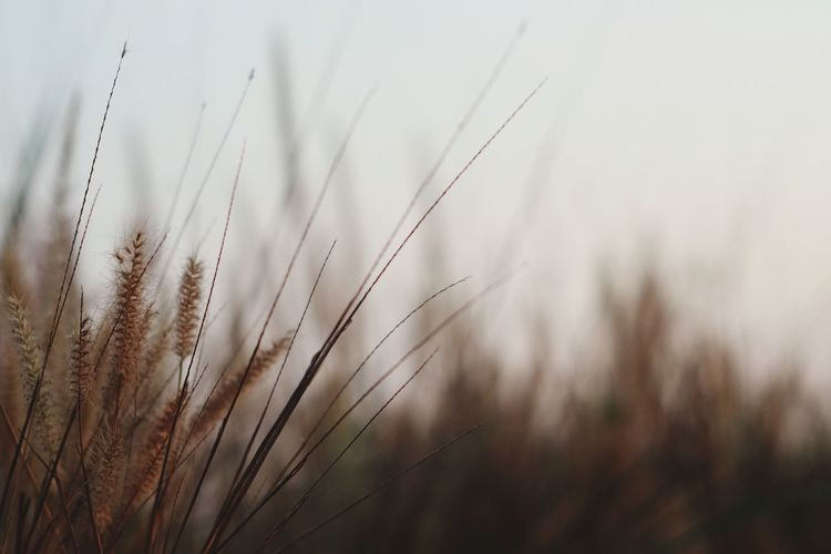 Brown meadow Grass Wheat Cereal Plant Rural Scene Ear Of Wheat Backgrounds Agriculture Field Summer Seed Crop  Wildflower Dew Reed - Grass Family Blade Of Grass Plant Life Focus Poppy Rye - Grain Drop Barley