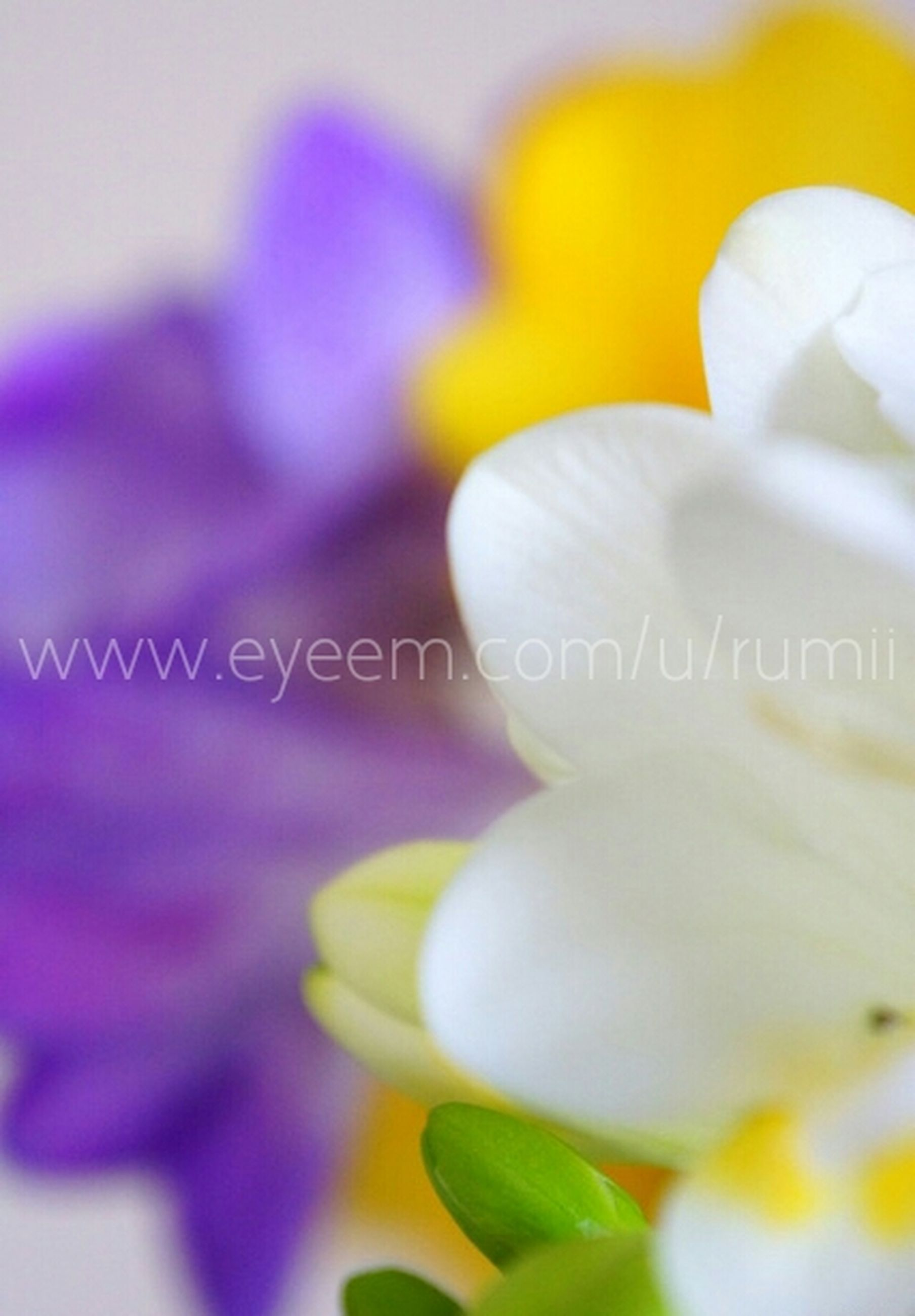 text, close-up, western script, flower, communication, freshness, selective focus, petal, indoors, flower head, focus on foreground, fragility, white color, no people, paper, detail, love, white, day, still life