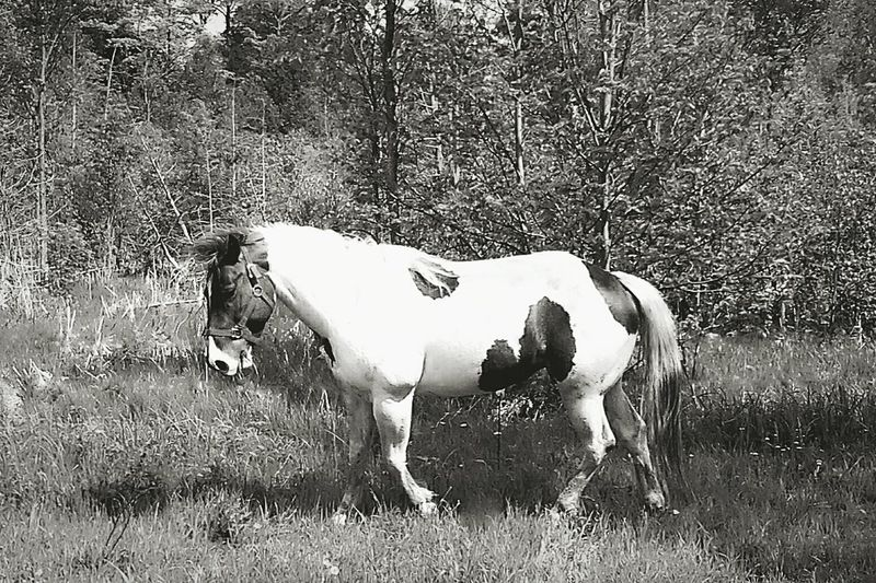 EyeEm Selects Animal Themes Pets Horses Horse Life Horse Photography  Paint Horse Trotting Horses HorseNAround Horselife Saugeen Valley Rural Scene Sommergefühle One Animal Ontario, Canada Bruce County, Ontario Rural Scenes Rural_living Rural Canada Let's Go. Together. Black & White Photography Black & White Pet Portraits Black And White Friday