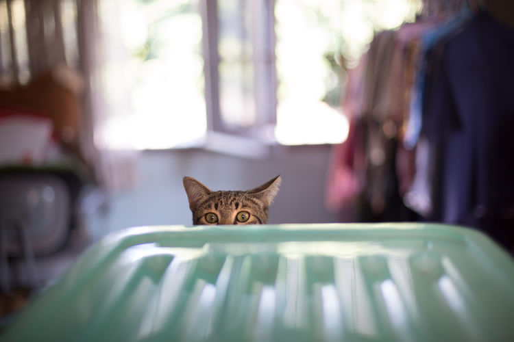 Cat playing Hide and Seek Animal Ears Animal Eye Animal Themes Animals Black Brown Cat Cats Domestic Cat Fun Hi Hide And Seek Hide And Seek With My Pets! Hiding Horizontal Indoors  Looking At Camera No People One Animal Pet Pet Photography  Pets Room Staring Window Pet Portraits