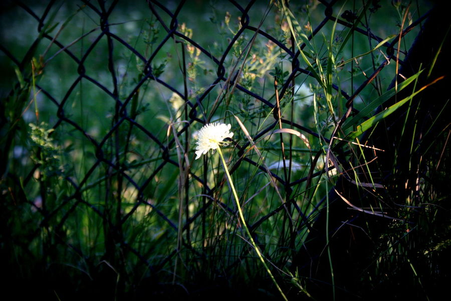 Flower Plant Nature Growth No People Outdoors Day Fragility Beauty In Nature Close-up Freshness Flower Head Grass Sunlight Fragile Fragility In Nature Fence Hoarding The Week On EyeEm