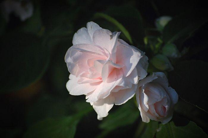 Roses Garden Flowers,Plants & Garden Nature Outdoors Plants Flowers Green Flower Pink