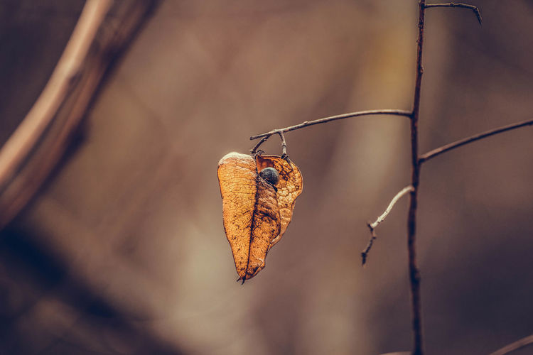 Close-up of dry leaf hanging from twig