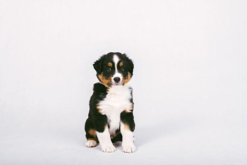 Portrait of puppy sitting against white background