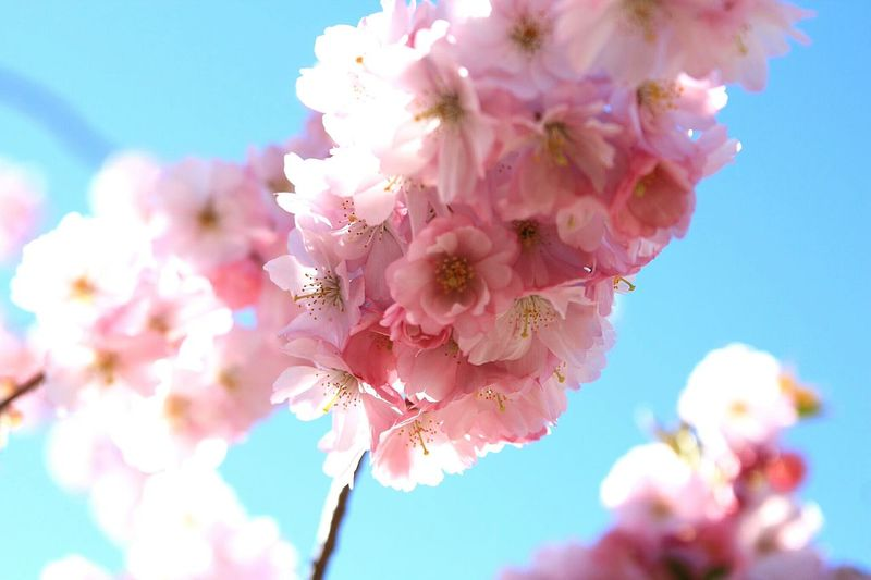 Wonderful Cherry Blossom Trees EyeEm Best Shots EyeEm Nature Lover Eyeem Flowers Sakura