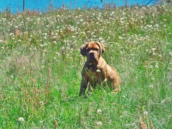 Dogslife My Sisters Dog .. French Mastiff Its  Harley Funny FUNNY ANIMALS