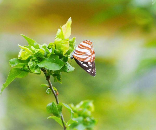 お天気がいいと君も楽しそう♪ コミスジ蝶 蝶々 Butterfly Collection Butterfly - Insect Insect Collection Green Nature EyeEm Nature Lover 日だまり EyeEm Best Shots - Nature My Point Of View Eyemphotography EyeEm Gallery Taking Photos
