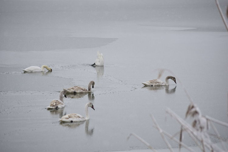 High angle view of swans swimming in lake during winter