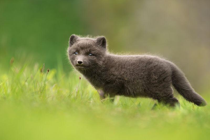 Portrait of arctic fox on grassy land