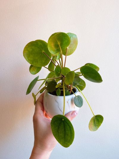 Close-up of hand holding plant against wall