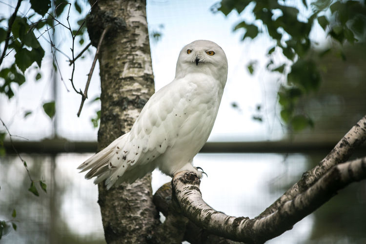 Snowy owl Nyctea Scandiaca Zoo Animal Animal Themes Animal Wildlife Beauty In Nature Bird Bird Of Prey Branch Bubo Scandiacus Close-up Day Low Angle View Nature No People One Animal Outdoors Owl Perching Snowy Owl Tree Tree Trunk