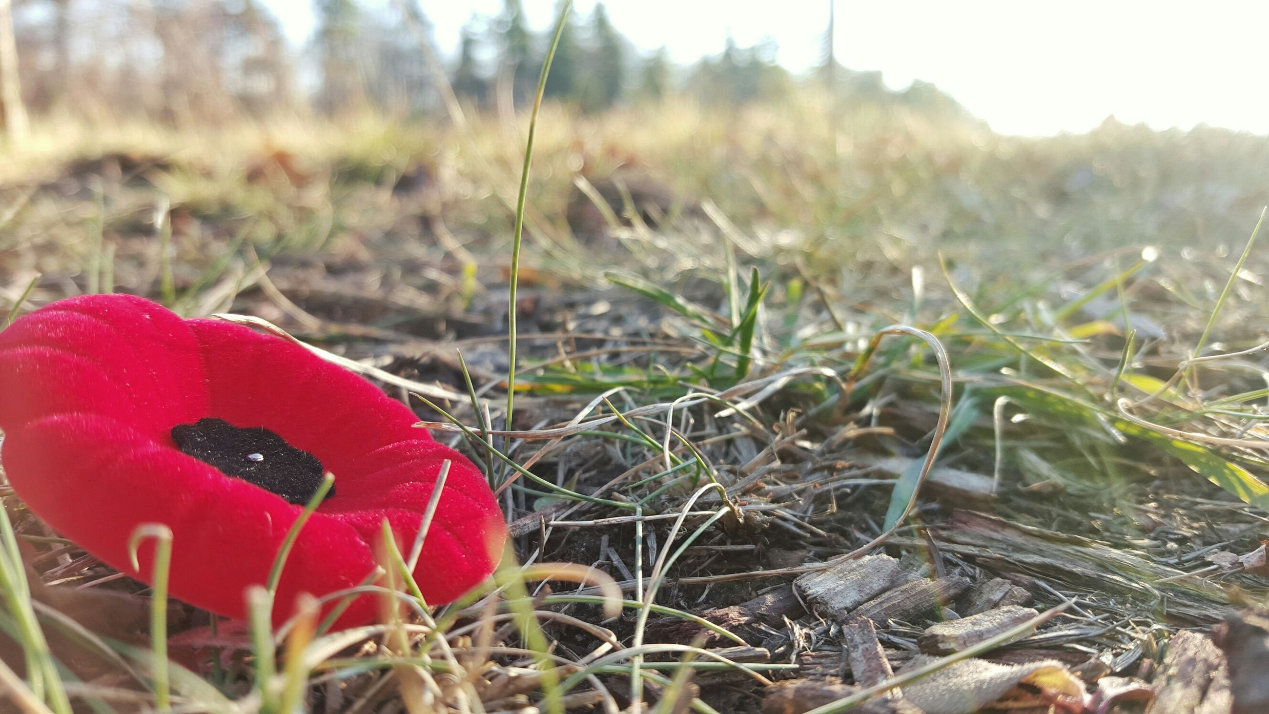 red, grass, focus on foreground, close-up, field, growth, nature, plant, beauty in nature, selective focus, poppy, tranquility, outdoors, day, fragility, stem, mushroom, freshness, no people, growing