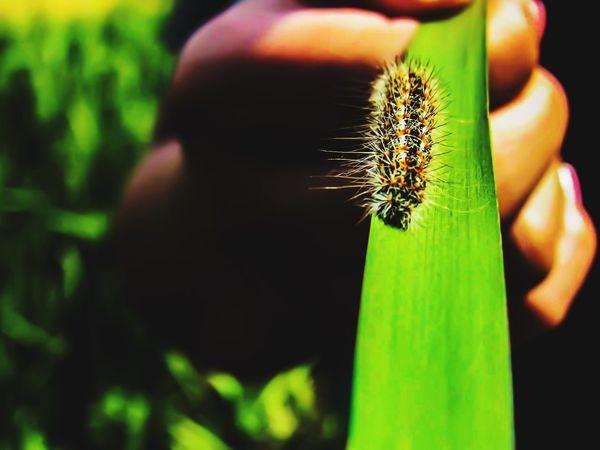 Human Hand Caterpillar Caterpillar Close-up Nature Green Color Close-up Caterpillar Photography Outdoors Animal Themes Beauty In Nature Catterpilar