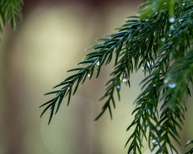 Norfolk Pine Plant Green Color Focus On Foreground Close-up Leaf Plant Part Pine Tree No People Coniferous Tree Needle - Plant Part Tree Branch Beauty In Nature Dew RainDrop Nature Twig Pine Needles Norfolk Pine