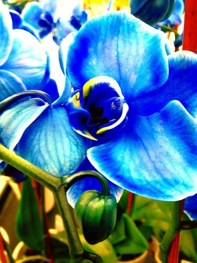 Flower Plant Nature Fragility Blue Beauty In Nature Close-up Flower Head Growth Petal No People Outdoors Day Freshness Orchid Collection Orchid Flowers Orchid Close Up Shot Plant Nature Shooters Naturehippys Beauty In Nature Nature Structure And Color Color Of Life