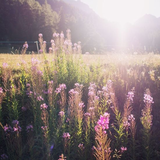 Flower Nature Growth Beauty In Nature Field Plant Tranquility No People Outdoors Tranquil Scene Day Landscape Grass Freshness Blooming Tree Flower Head