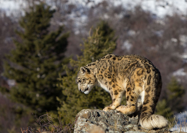 Snow leopard on rock at mountain