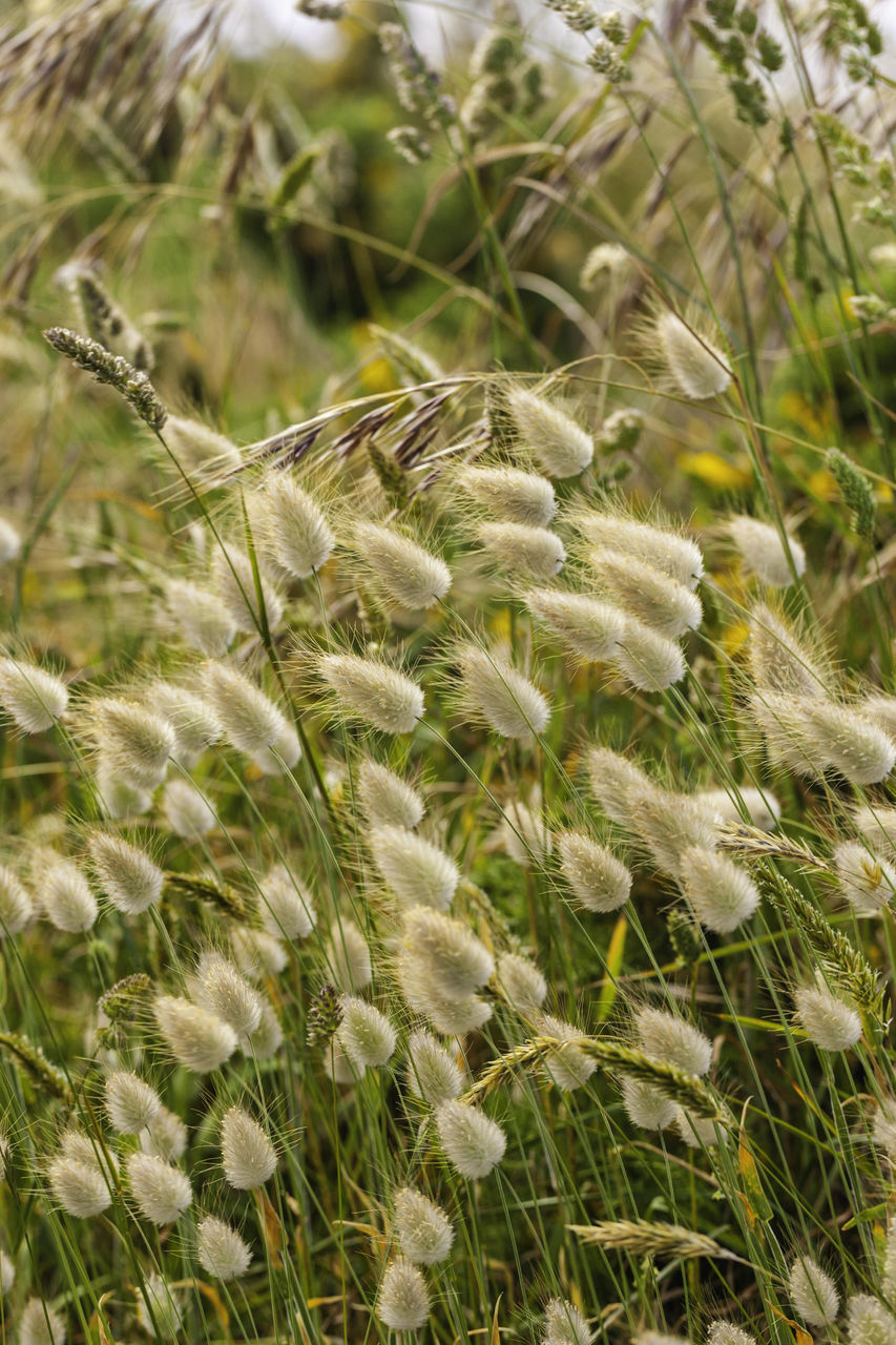 CLOSE-UP OF WHITE FLOWERS ON FIELD