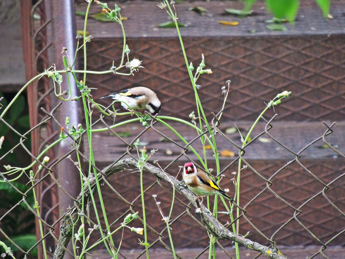 two buddies ))) Chainlink Fence Close-up Day Focus On Foreground Grass Green Color Mammal Nature No People Outdoors Plant Selective Focus ჩიტბატონა European Goldfinch Carduelis Carduelis Georgia Zugdidi