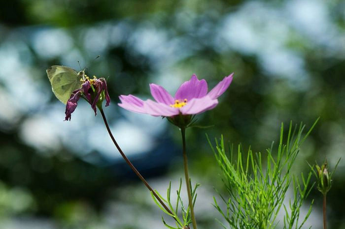 The Beauty Of Decay 1/3 Flowers Macro Nature Nature On Your Doorstep Lilac Flower Butterfly Seria Cosmos Cosmos Flower