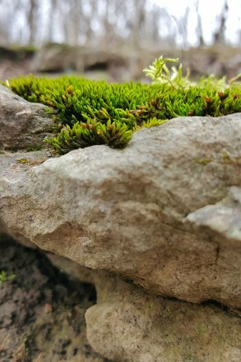 Green Color Beauty In Nature No People Close-up Growth Outdoors Tranquility Moss Moss & Lichen Macro Macro World Lush Sumptuous Moss And Rocks Resilience  Resilient Nature