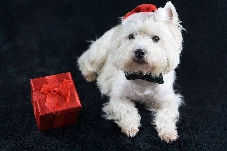 Copy Space Dogs Presents Santa Animal Themes Birthday Black Background Close-up Day Dog Domestic Animals Gift Gifts Indoors  Looking At Camera Mammal No People One Animal Pets Portrait Red West Highland White Terrier Westhighlandwhiteterrier Westie White Color