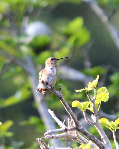 Sit Bird Perching Branch Eating Living Organism Sparrow Flower Mourning Dove Animal Themes Close-up Hummingbird