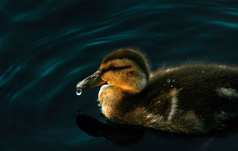 Animal Animal Themes Animal Wildlife Animals In The Wild Bird Birds Close-up Day Duck Duckling Ducklings Lake Nature No People Outdoors Water