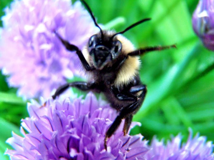Show Girl Flower One Animal Animal Themes Growth Fragility Nature Animals In The Wild Insect Petal Beauty In Nature Freshness Purple Wildlife Close-up Day Pollination Flower Head Bumblebee Outdoors Plant