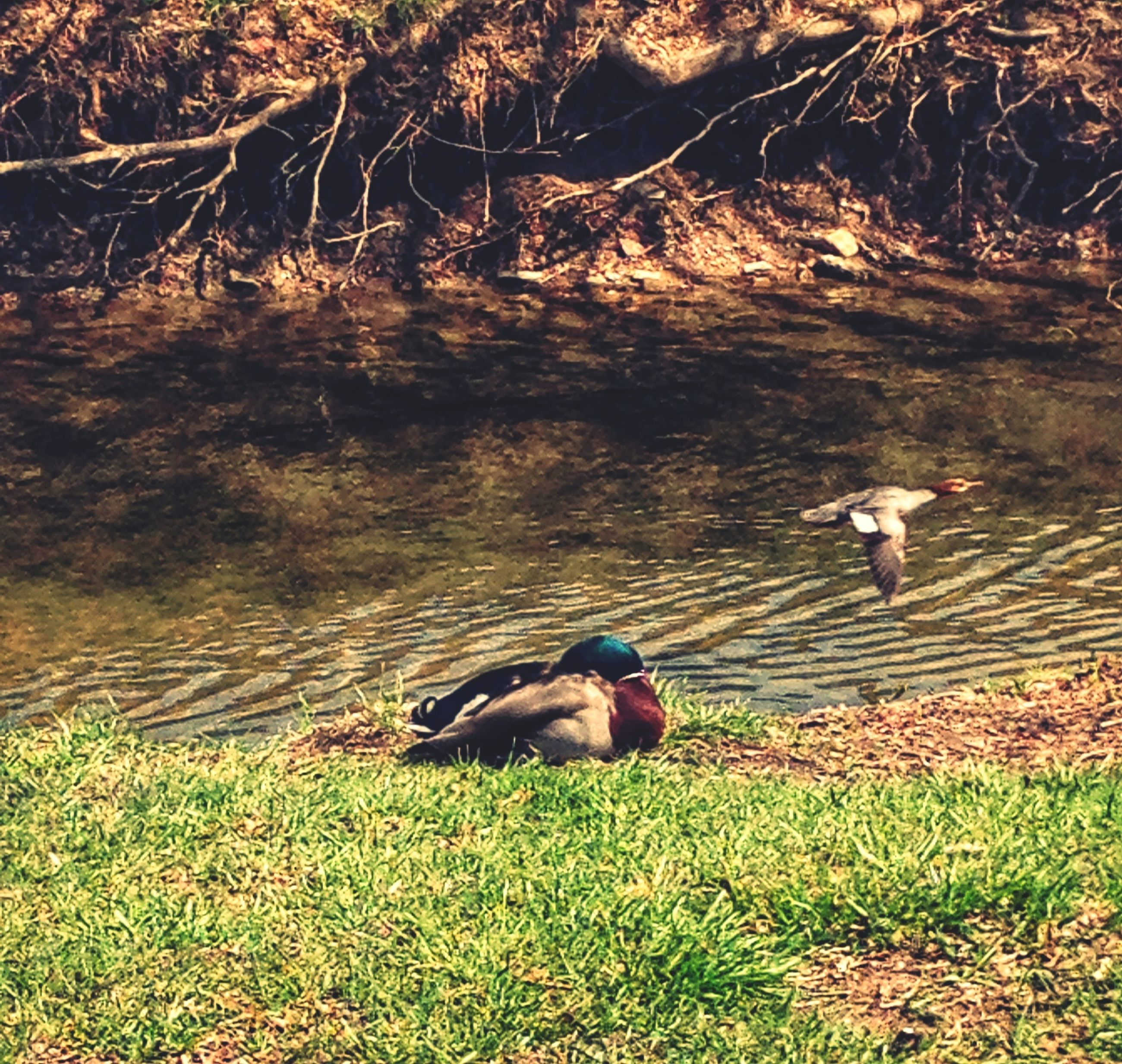 animal themes, grass, one animal, animals in the wild, domestic animals, field, lake, bird, wildlife, duck, mammal, water, nature, grassy, dog, pets, two animals, standing, outdoors, lakeshore