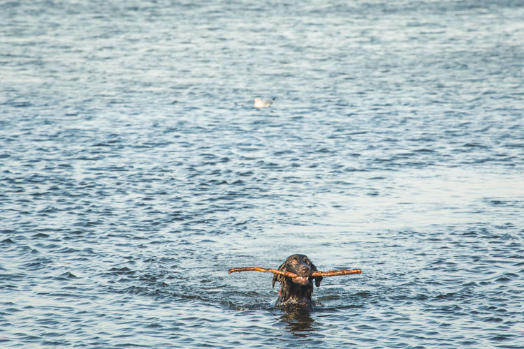 Dog carrying stick in mouth while swimming in sea