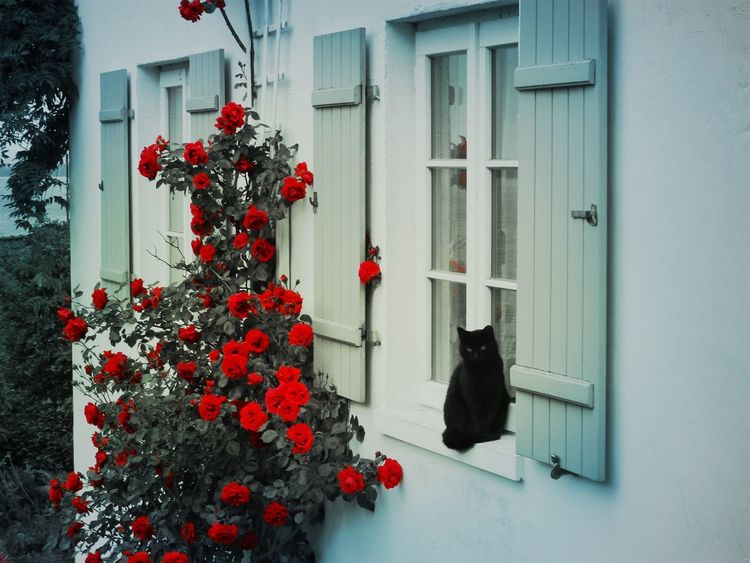 Architecture Beauty In Nature Black Cat Building Exterior Built Structure Day Flower Growth House Nature No People Outdoors Red Rosebush Roses Tree