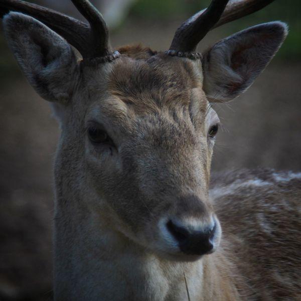 Portrait Daim Nature Animal EyeEm Nature Lover EyeEm Best Shots - Nature Wildlife & Nature