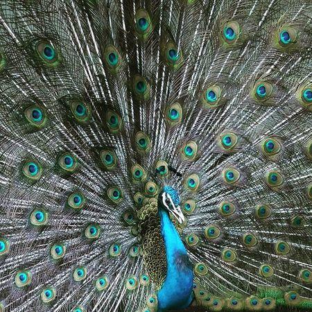Peafowl Nationalbird Natureporn Natureclick Mumbaiinstagrammers Picturisque Picoftheday Dancing Superb LGG4 Manualmode